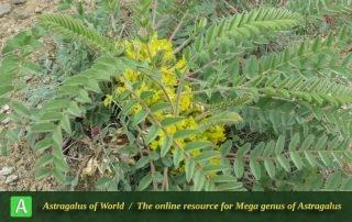 Astragalus pinetorum subsp. declinatus 3 - Photo by Mozaffarian