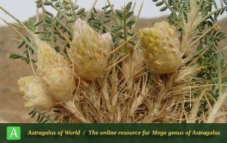Astragalus piptocephalus - Photo by Mozaffarian