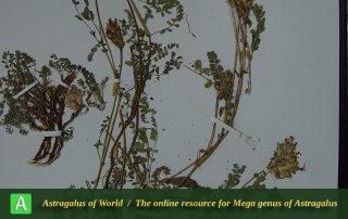 Astragalus pishchakensis Maassoumi - Hol