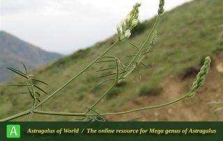 Astragalus podocarpus - Photo by Bidar