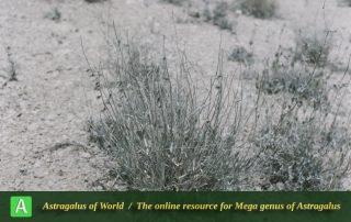 Astragalus podolobus 4 - Photo by Maassoumi