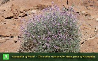 Astragalus podolobus 5 - Photo by Taherian