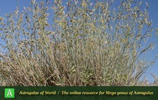 Astragalus podolobus - Photo by Mozaffarian