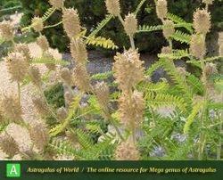 Astragalus ponticus - Photo by Eftekhar