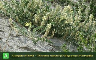 Astragalus pseudobrachystachys 4 - Photo by Maassoumi