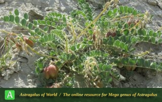 Astragalus pseudobrachystachys 5 - Photo by Maassoumi