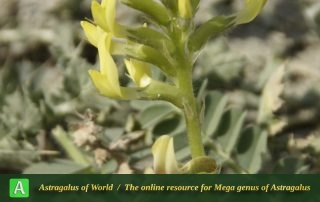 Astragalus pseudobrachystachys - Photo by Mozaffarian