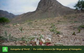 Astragalus pseudobuchtormensis 2 - Photo by Mirtadzhaddin
