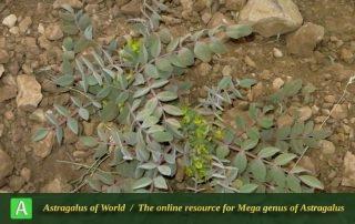 Astragalus pseudoibicinus 2 - Photo by Mirtadzhaddin