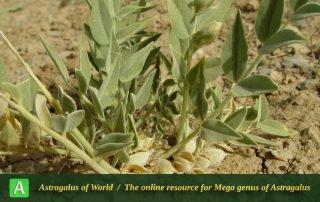 Astragalus pseudoibicinus - Photo by Mozaffarian