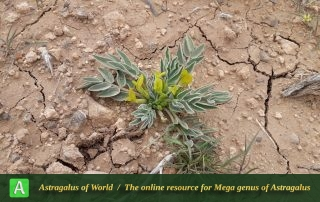 Astragalus pseudoibicinus subsp. pseudoibicinus - Photo by Aghasi