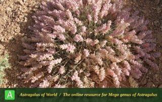 Astragalus ptychophyllus 3 - Photo by Eftekhar