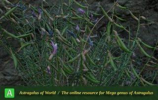 Astragalus punctatus 2 - Photo by Bidar
