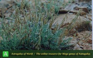 Astragalus punctatus 3 - Photo by Maassoumi