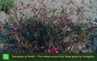 Astragalus punctatus 4 - Photo by Maassoumi