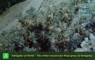 Astragalus pycnocephalus