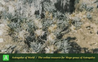 Astragalus pycnocephalus 2 - Photo by Maassoumi