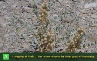 Astragalus rassulovae - Photo by Joharchi