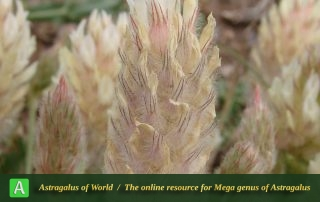 Astragalus recognitus 2 - Photo by Ramazani