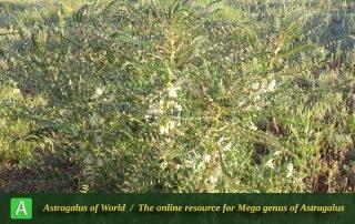 Astragalus retamocarpus 2 - Photo by Maassoumi