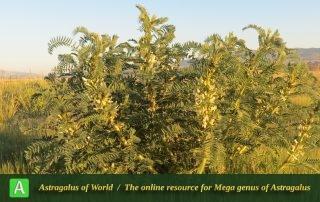 Astragalus retamocarpus 3 - Photo by Maassoumi