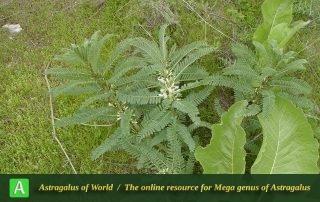 Astragalus retamocarpus 4 - Photo by Joharchi