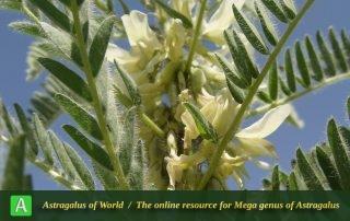 Astragalus retamocarpus - Photo by Mozaffarian