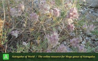 Astragalus reuterianus 2 - Photo by Tavakoli