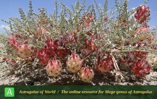 Astragalus reuterianus 3 - Photo by Mozaffarian