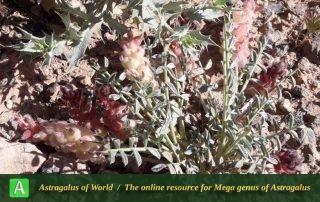 Astragalus reuterianus - Photo by Eftekhar