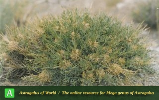 Astragalus rhodosemius 2 - Photo by Maassoumi