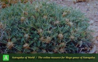Astragalus rhodosemius 3