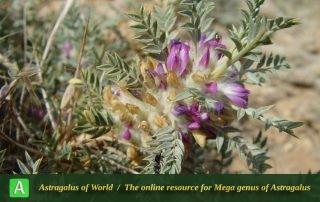 Astragalus rhodosemius 4 - Photo by Mozaffarian