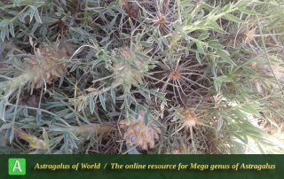 Astragalus rhodosemius 5