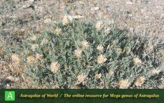 Astragalus rhodosemius 6 - Photo by Maassoumi