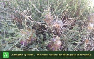 Astragalus rhodosemius 7