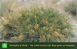 Astragalus rhodosemius - Photo by Maassoumi
