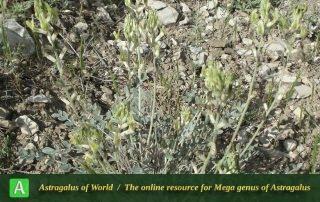 Astragalus robustus 2 - Photo by Bidar