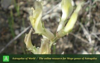 Astragalus robustus 3 - Photo by Bidar
