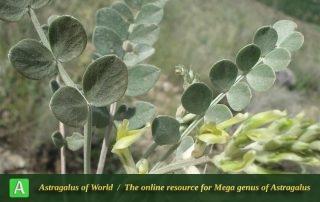 Astragalus robustus - Photo by Bidar