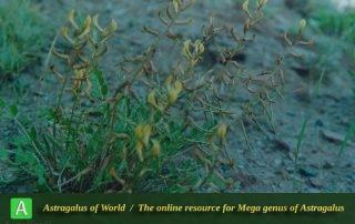 Astragalus rollovii - Photo by Maassoumi