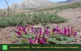 Astragalus rostratus 3 - Photo by Ramazani