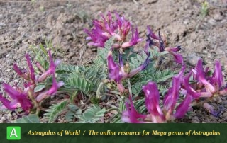 Astragalus rostratus 4 - Photo by Ramazani