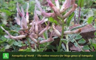 Astragalus rostratus 5 - Photo by Bidar
