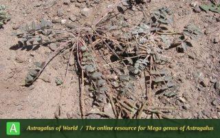 Astragalus rostratus 6 - Photo by Ramazani