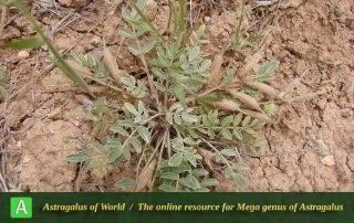 Astragalus rostratus - Photo by Ramazani