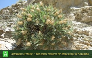 Astragalus rubriflorus 4 - Photo by Bagheri