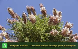 Astragalus rubriflorus 5 - Photo by Mozaffarian