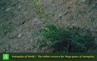 Astragalus sabetii 2 - Photo by Maassoumi