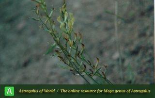Astragalus sabetii - Photo by Maassoumi